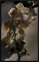 Phalaenopsis....14 Tage später