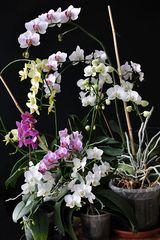 Phalaenopsissammelsurium