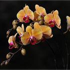 Phaleanopsis
