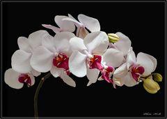 Phalenopsisblütenrispe