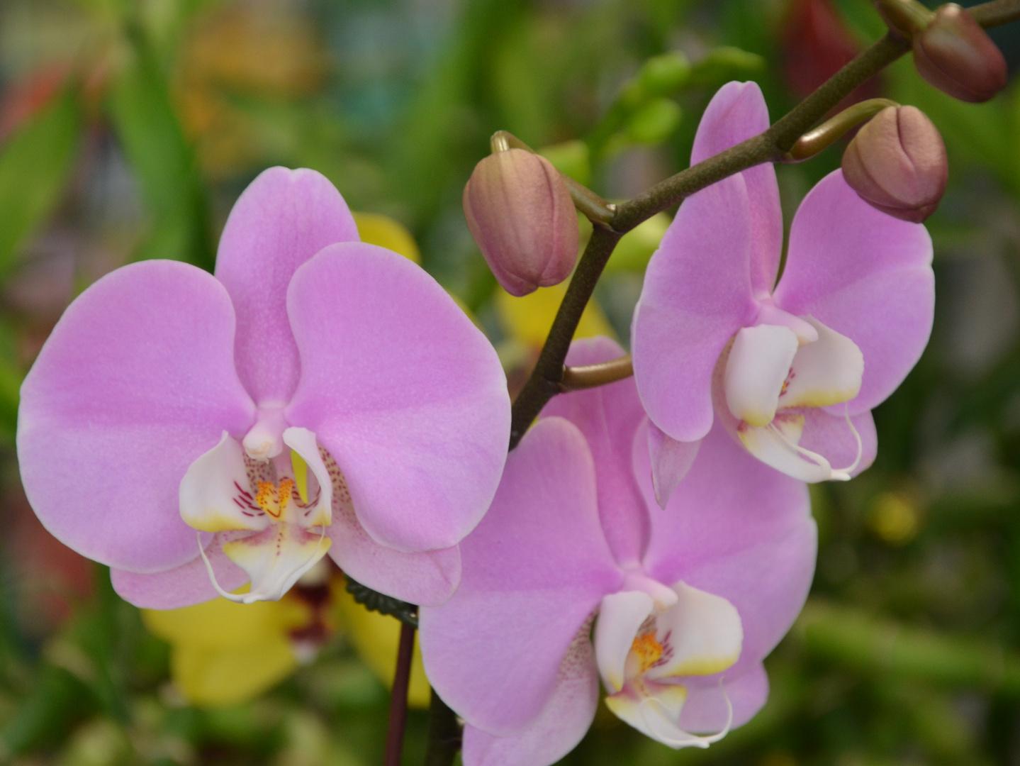 Phanelosis u orquideas Fanelosias lila