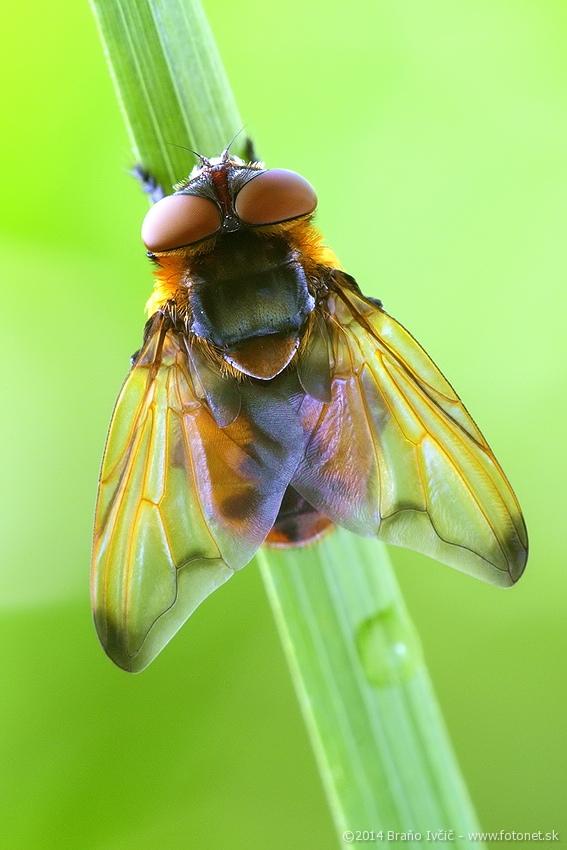 Phasia hemiptera - bystrusa