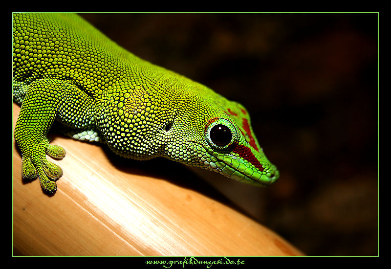 Phelsuma madagascariensis grandis Großer Madagaskar Taggecko