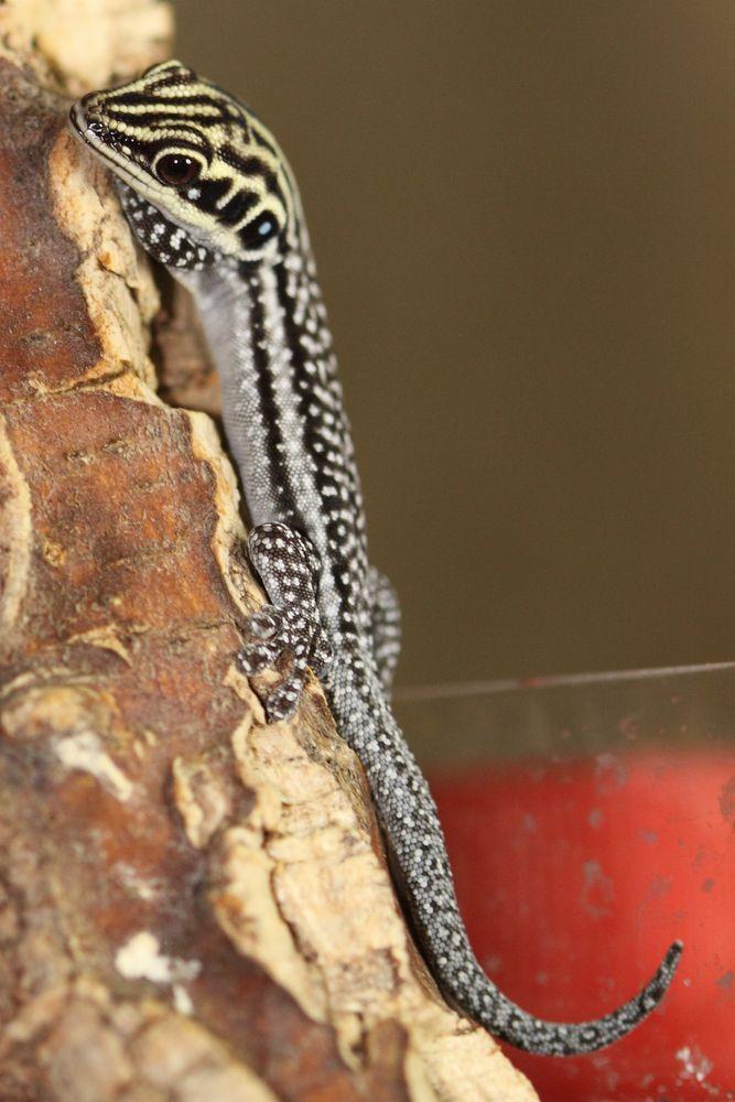Phelsuma pronki photo & image | animals, wildlife, amphibians ...