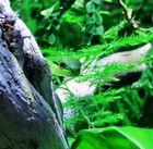 philodryas olfersii