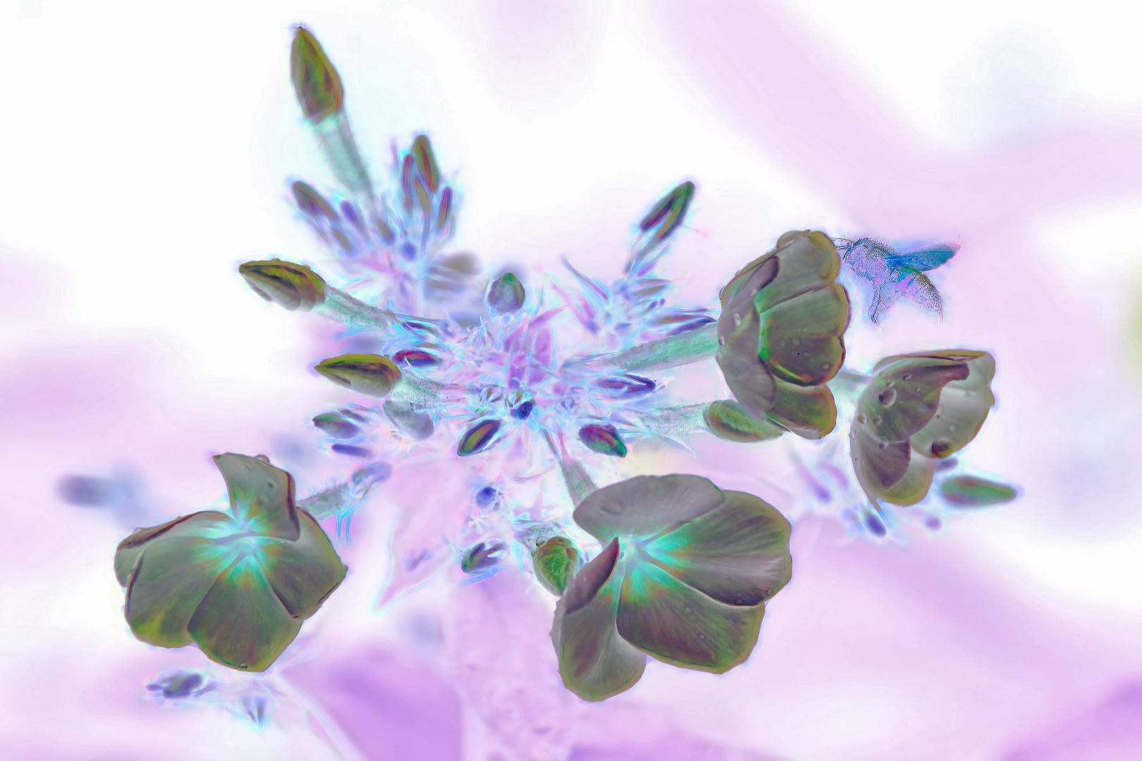 Phlox amplifolia 'Minnehaha'