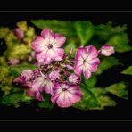 Phlox   - Leuchtende Flammen im Garten -