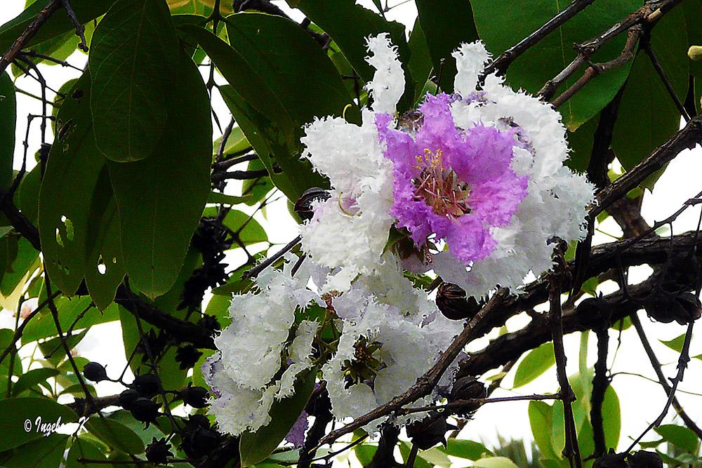 Phnom Penh - Zauberhafte Blüten