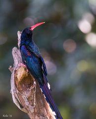 Phoeniculus purpureus