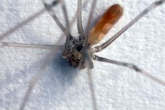 Pholcus phalangioides