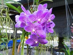 Phuket, Besuch einen Orchideefarm.