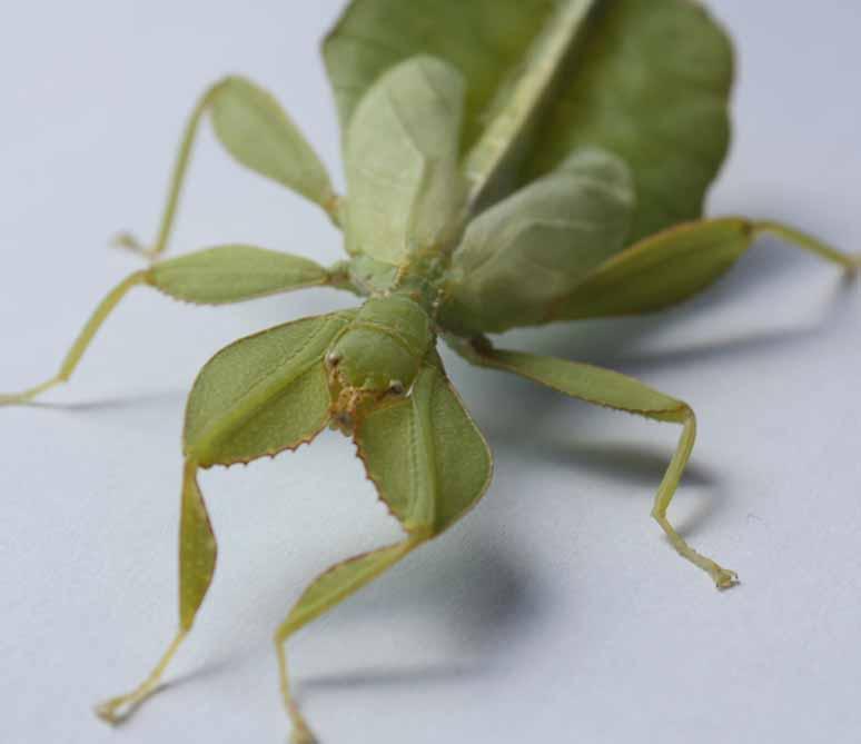 phyllium siccifolium
