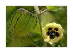 Physalis-Blüte