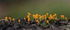 Physarum viride