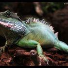 Physignathus cocincinus (Chinese Water Dragon)