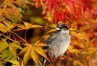 Piaf en automne
