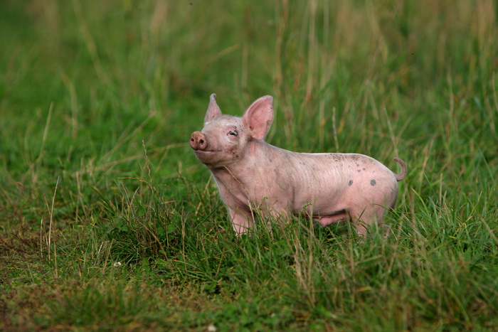 Pic of a Pig