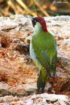 Picchio Verde (Picus viridis) maschio
