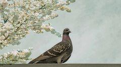 piccione (Taube )
