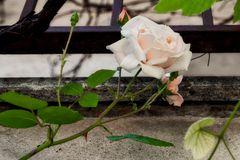 Piccole rose crescono...