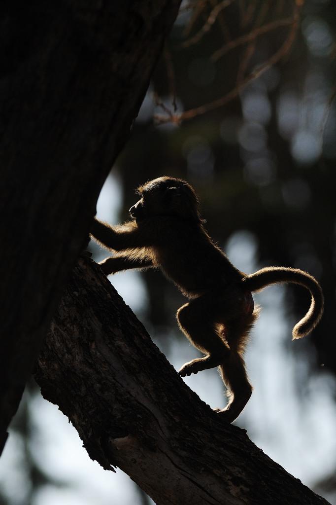 Piccolo di babbuino