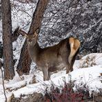 Piccolo di cervo