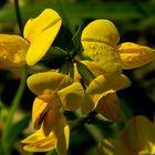 Piccolo fiorellino di montagna