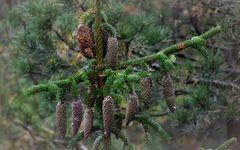 Picea Abies Acrocana...