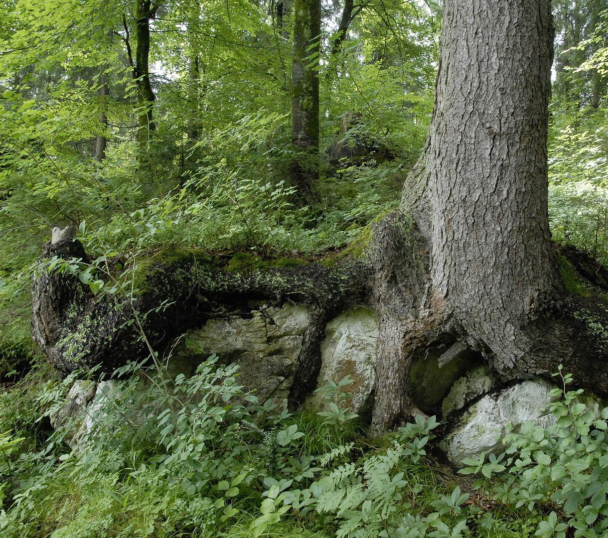 Picea Abies auf Kalkfelsen