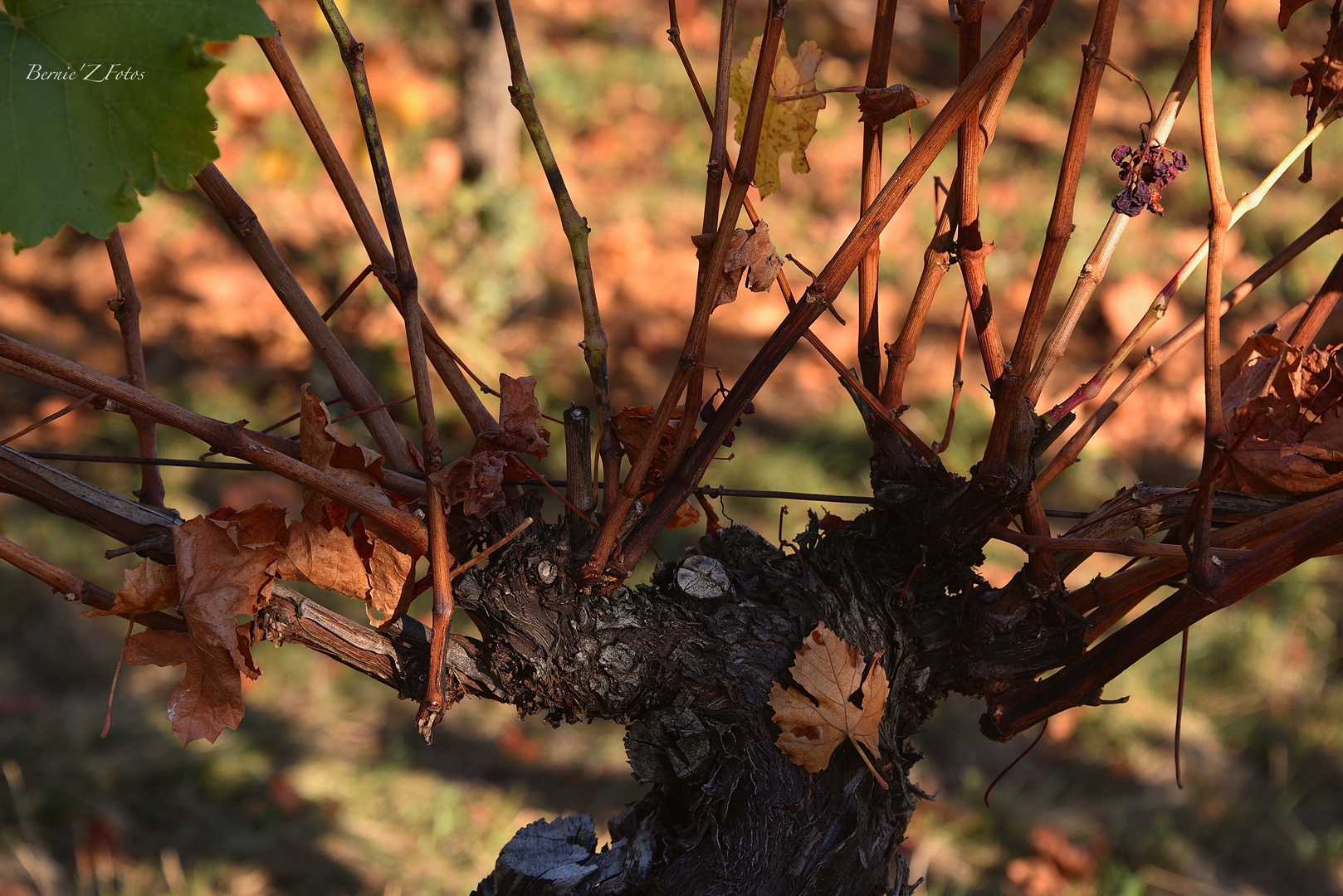 Pied de vigne Alsacien