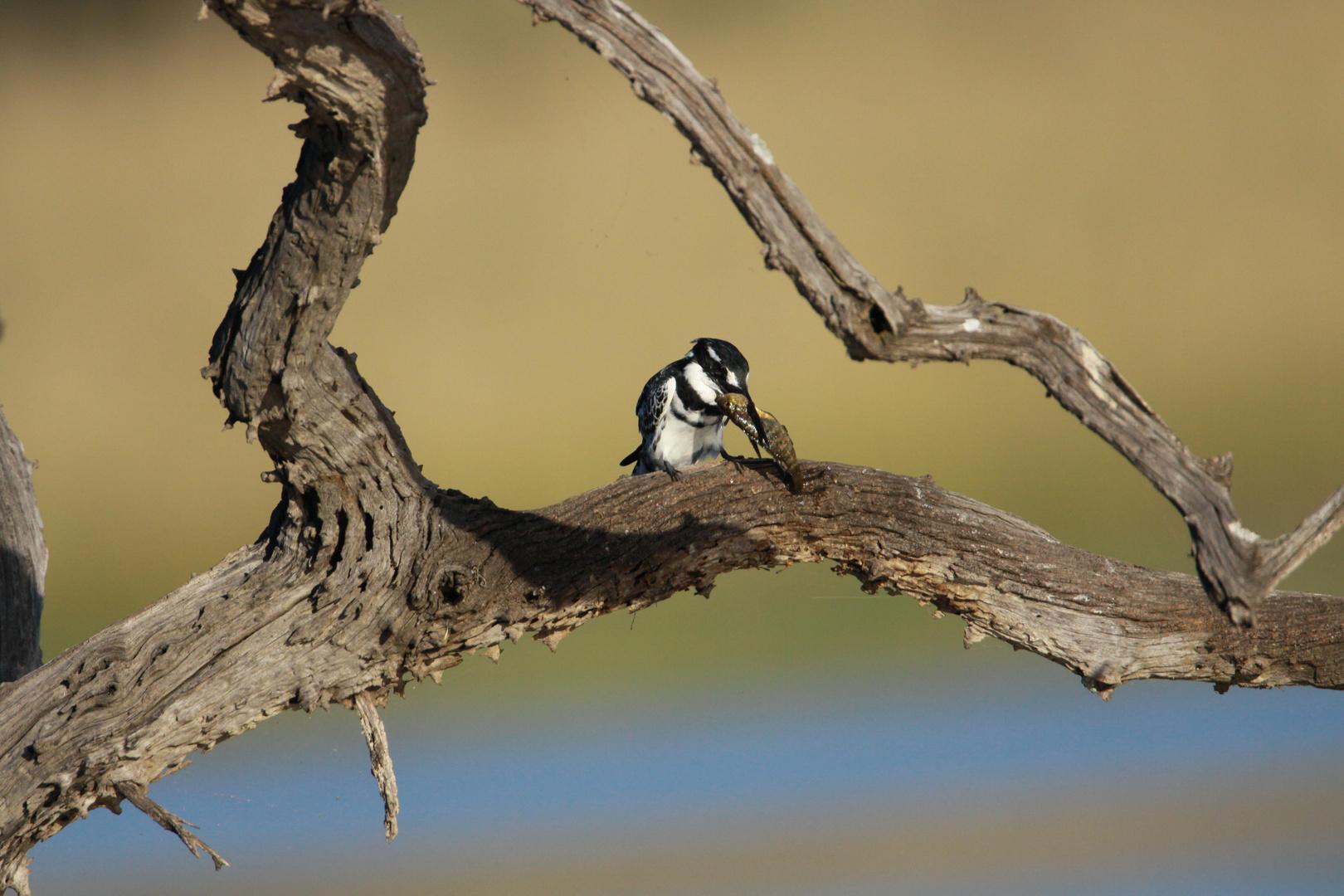 Pied Kingfisher mit Beute
