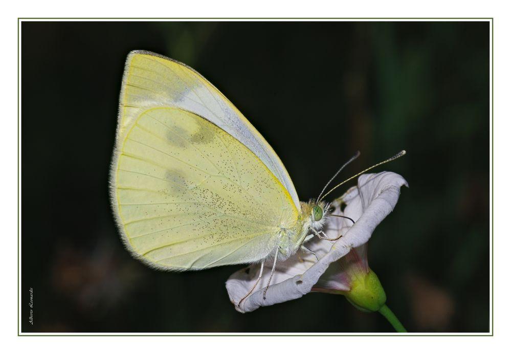 Pieridae,  Pieris rapae (Linnaeus, 1758)