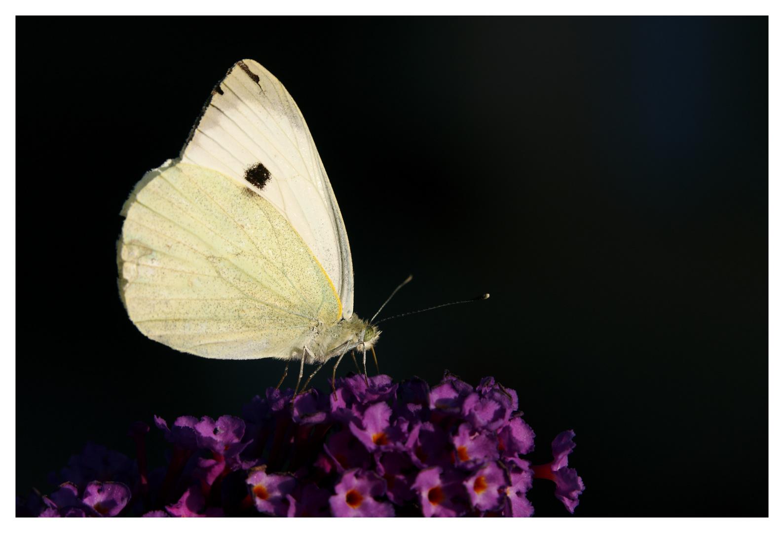 Piéride sur arbre à papillons