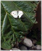 Pieris brassicae.
