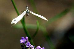 Pieris brassicae - im Anflug - Vorsicht Tragflächenschaden