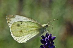 Pieris brassicae - im Gegenlicht