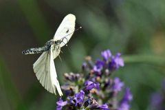 Pieris brassicae - im Vorbeiflug - mit Tragflächenschaden