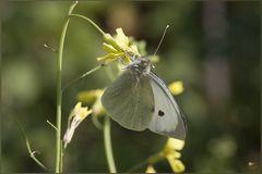 Pieris brassicae  (Linnaeus, 1758) -CAVOLAIA MAGGIORE -