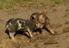 Pig-games