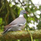 pigeon à la branche