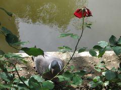 ...Pigeon et rose fanée...