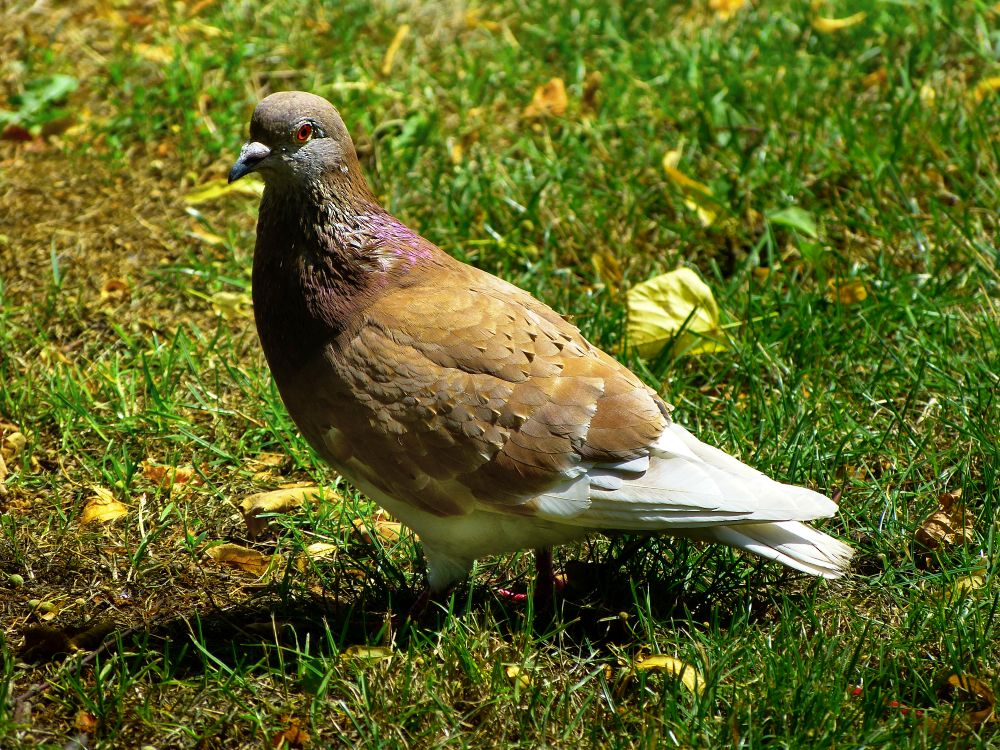 Pigeon in the green grass