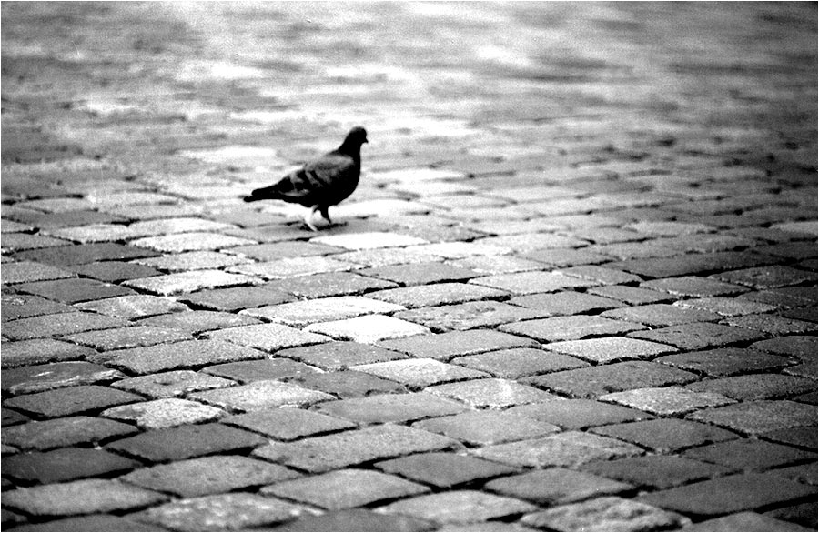 [pigeon - out of focus on purpose]