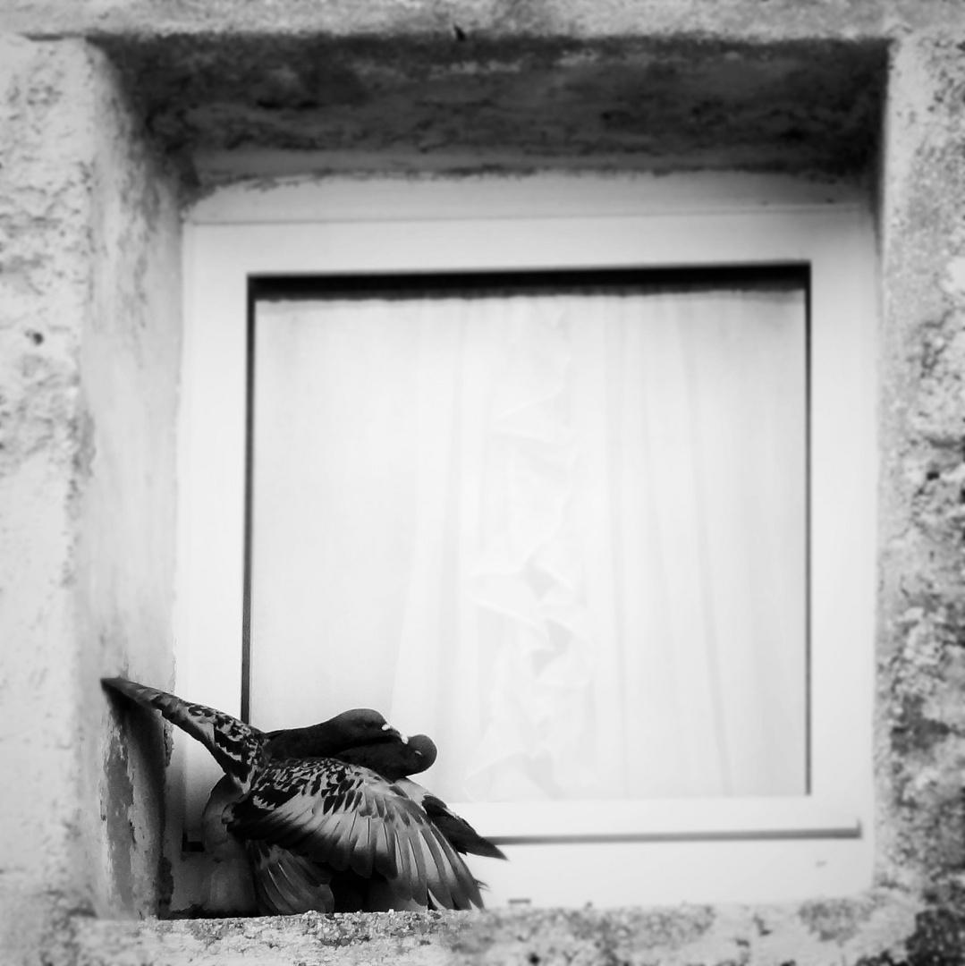 pigeon romance?