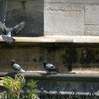 pigeons à la fontaine du jardin notre dame - paris ile de la cité