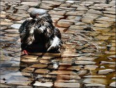 Pigeon´s bath