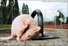 """""""Piggy leckt sich trocken nach dem Brunnen- Planschen"""" :-)"""