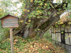 Pilgern zu alten Bäumen....