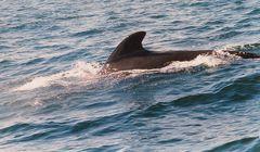 Pilot-Wal vor Neufundland