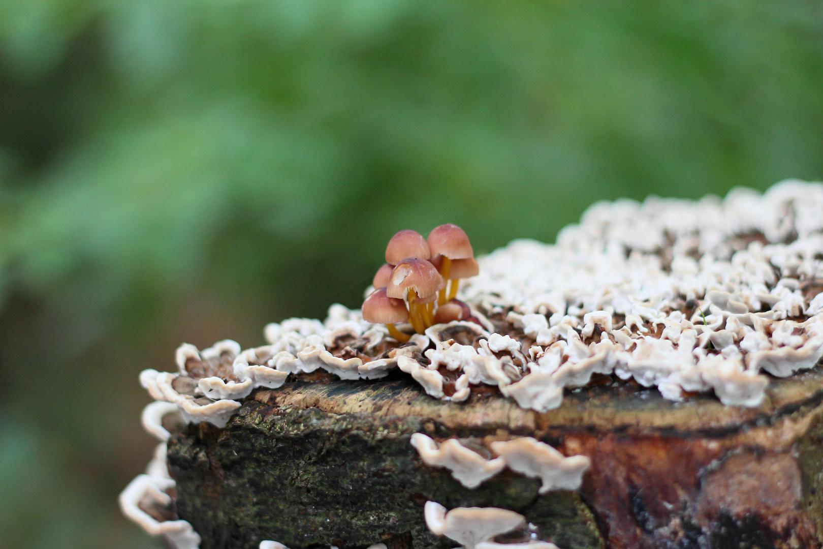Pilz auf Pilz auf Baum